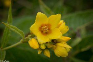 Een enkele bloem, het oranje hart is hier een mooi detail.  - Fotograaf: Ron Poot