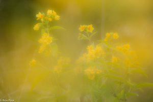 Dwars door de gele bloemen fotograferen geeft een heel eigen sfeer.  - Fotograaf: Ron Poot