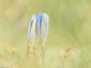 Een intiem beeld met twee knoppen bij elkaar. De sfeer is versterkt door door de vegetatie heen te fotograferen.  - Fotograaf: Ron Poot