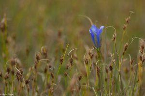 Tussen bruine snavelbies, ook een zeldzame plant van de vochtige heide. - Fotograaf: Ron Poot