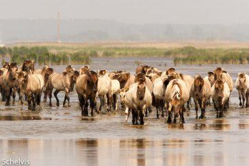 Kudde Koniks wadend door het water
