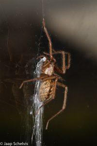 De huisspin steekt mooi af tegen het donkere vensterglas.  - Fotograaf: Jaap Schelvis