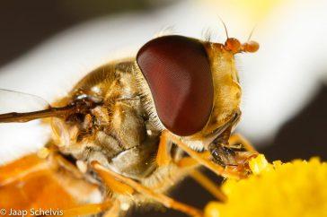 Pyjamazweefvlieg; Marmalade hoverfly; Episyrphus balteatus