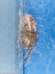 Verstopt in de ragfijne draden van het web. - Fotograaf: Jaap Schelvis