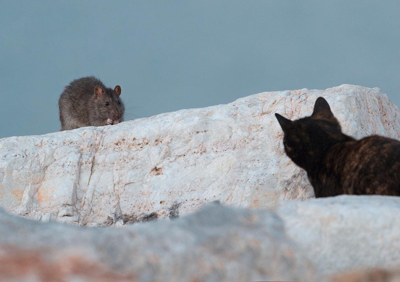 Bruine rat en kat