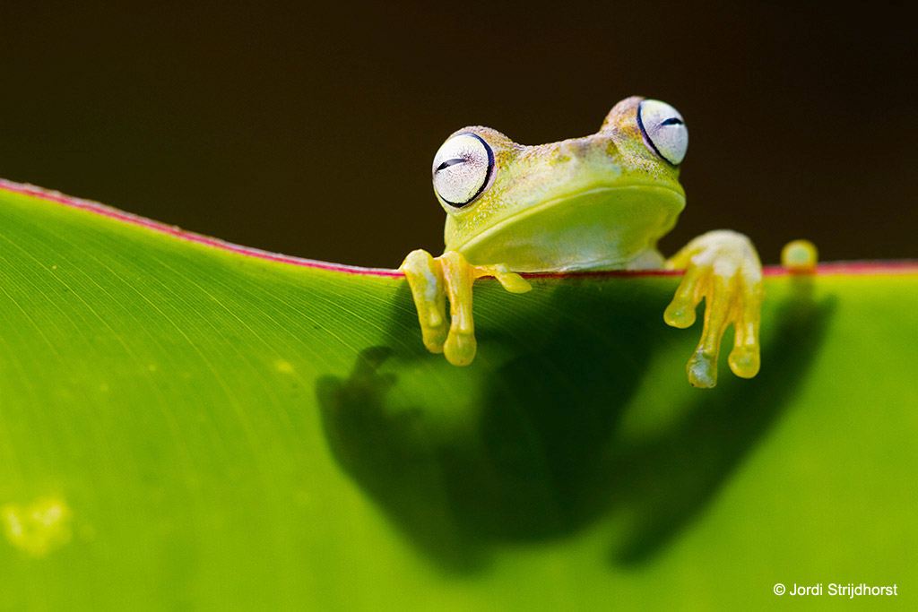 Boomkikker (tree frog)