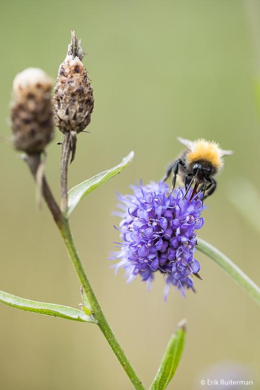 Hommels, bijen en andere insecten gedijen prima bij wat wij ze bieden in de stad.