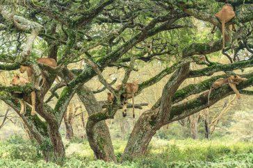 Leeuwen in de boom
