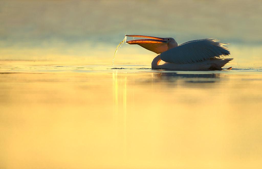 Roze pelikaan.