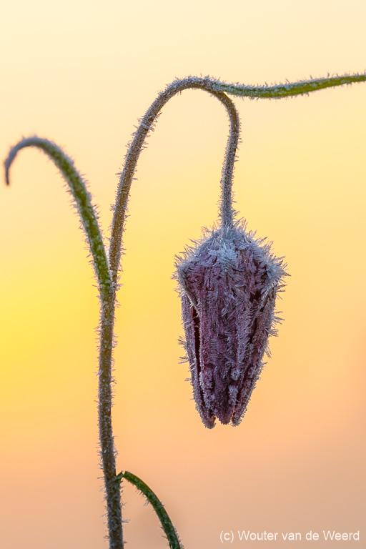 Kievitsbloem met rijp bij zonsopkomst