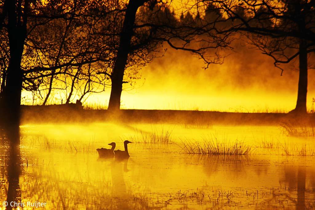 gouden ganzen