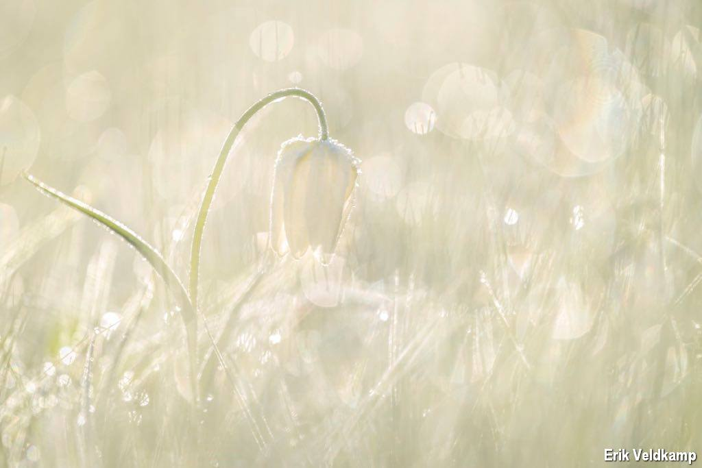Witte kievitsbloem