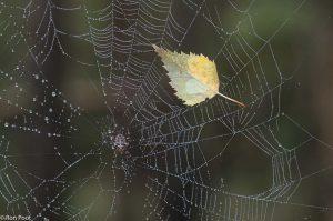 Een herfstblaadje eindigt in het web, een teleurstellende prooi.  - Fotograaf: Ron Poot