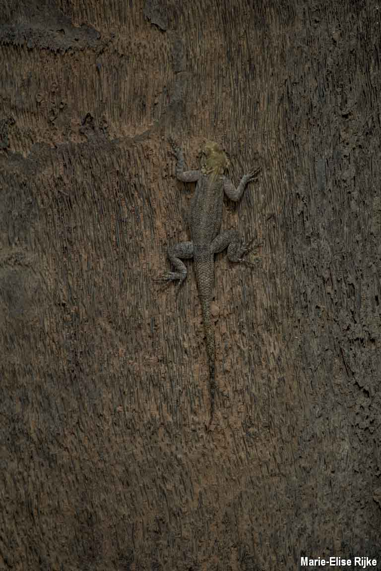 Marie-hagedis op een boomstamRijke
