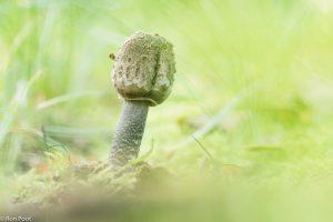 Het trommelstokje, zoals de jonge parasolzwam wel genoemd wordt.  - Fotograaf: Ron Poot