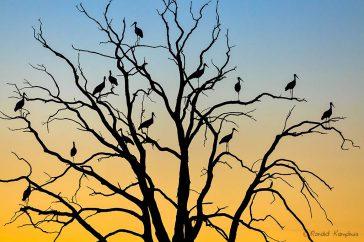 Rustende ooievaars in dode boom