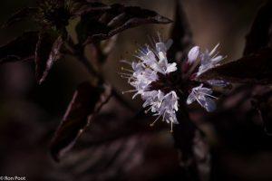 De stengels en bladeren van watermunt zijn vaak paars aangelopen. - Fotograaf: Ron Poot