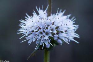 Watermunt bloeit met een krans van kleine bloempjes.  - Fotograaf: Ron Poot