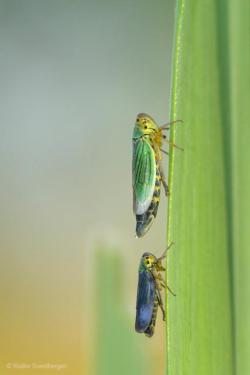 Groene Cicade man en vrouw zittend op rietblad