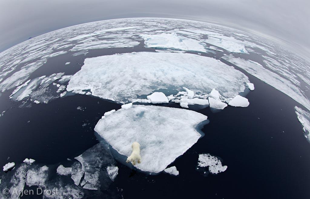 IJsbeer aan de rand van het pakijs. Hoelang kunnen we nog genieten van deze dieren in het ijs?