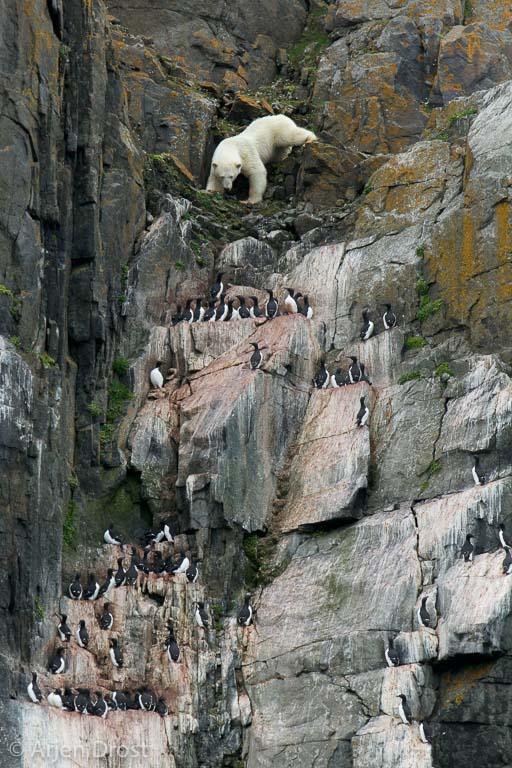 Hongerige IJsbeer op de vogelklif van Alkefjellet