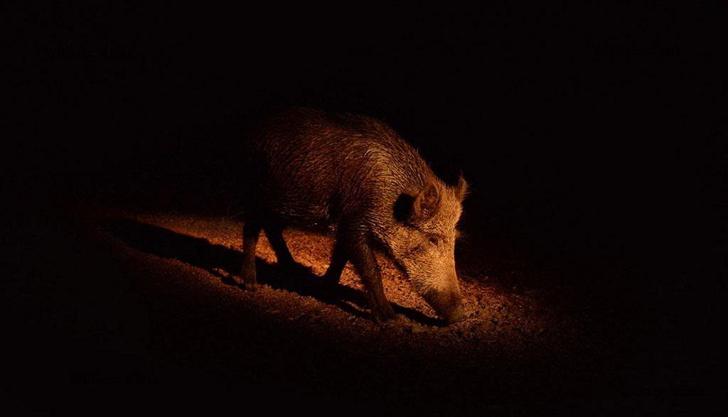 Wild zwijn op zoek naar voedsel
