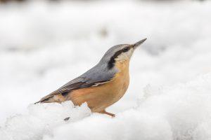 In de sneeuw komen de kleuren nog mooier uit. - Fotograaf: Arnold Kreveld