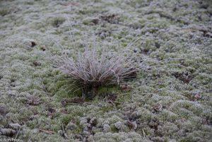 De combinatie van buntgras en grijs kronkelsteeltje in de winter. - Fotograaf: Ron Poot