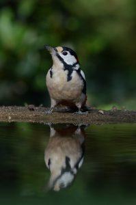 Vanuit een fotohut met een vijver kun je de drinkende vogel met spiegelbeeld mooi vastleggen. - Fotograaf: Arnold Kreveld