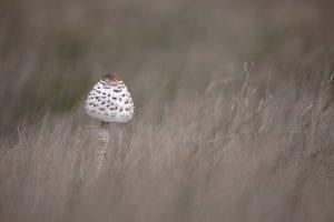 Een jonge parasolzwam steekt met zijn kopje boven het maaiveld.  - Fotograaf: Nel Talen