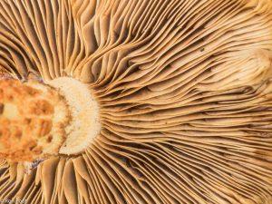De plaatjes aan de onderkant van de hoed van de schubbige bundelzwam. - Fotograaf: Ron Poot