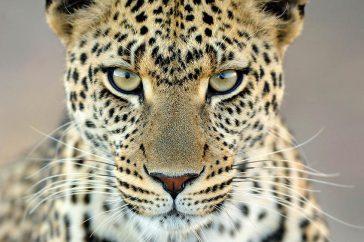 Leopard Gaze