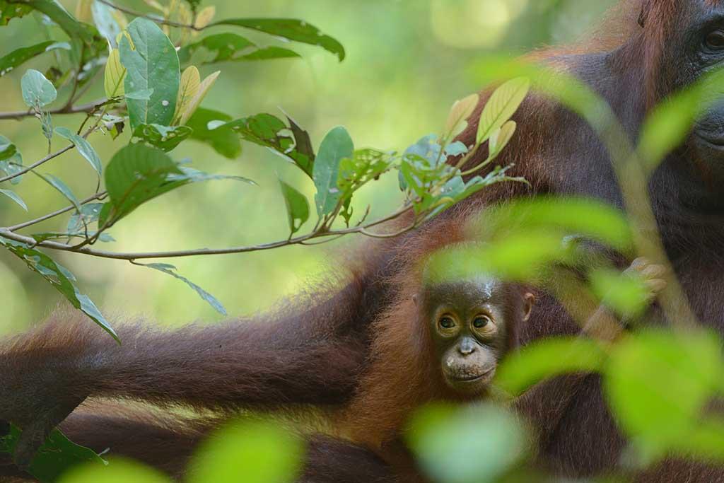 Moeder Orang Oetan en kind