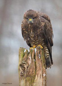 Vaak zie je een buizerd op de uitkijk zitten op een paal. - Fotograaf: Arjan Troost