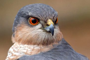 Sperwer; Sparrow Hawk; Accipiter nisus