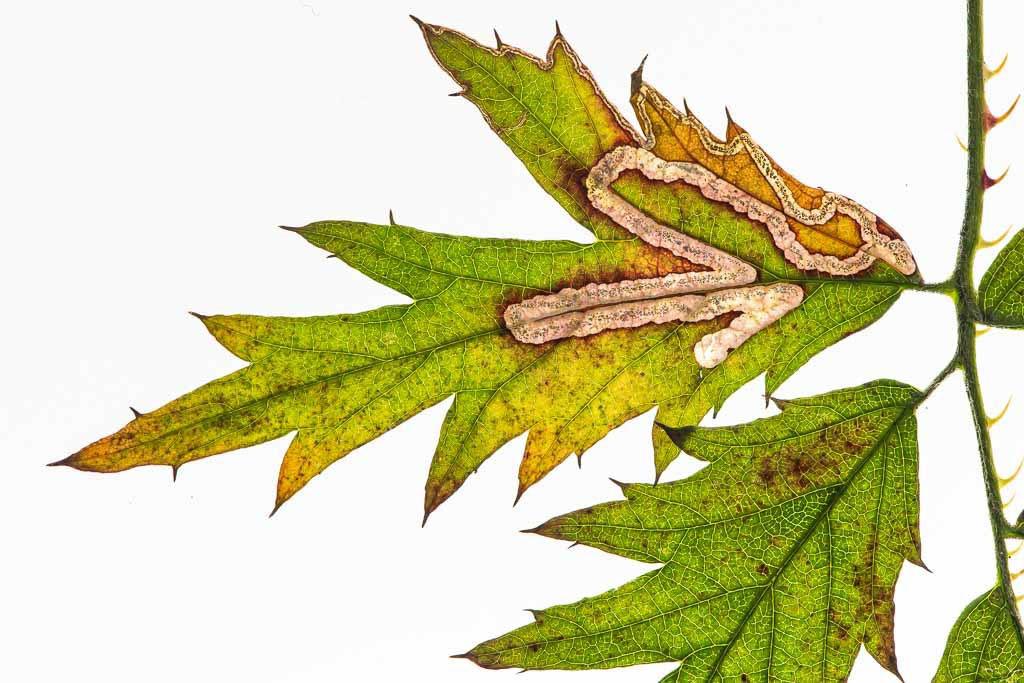 Mineergang in het blad van Rubus laciniatus