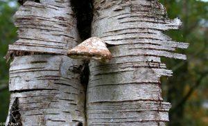 Dode berkenboom met afbladderende schors en een berkenzwam. - Fotograaf: Ron Poot