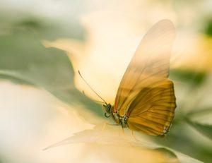 Oranje passiebloemvlinder.  - Fotograaf: Hennie Zeij