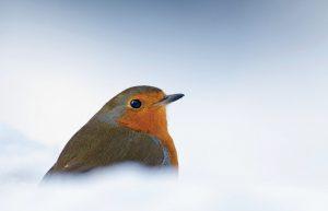 Een vogel in de sneeuw vergt een correctie van de lichtmeter (tenzij je spotmeting op de vogel toegepast hebt). Overbelichten is het devies als je witte sneeuw wilt. - Fotograaf: Marijn Heuts