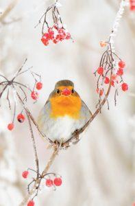 Een winterlandschap is vaak sfeervol. Foto's van vogels in de sneeuw stralen een gezellig kerstachtig gevoel uit, zoals deze roodborst, die mooi centraal geplaatst is en van een lekker besje snoept. - Fotograaf: Michel Geven