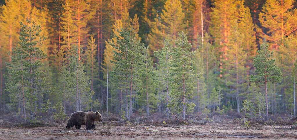 Europese bruine beer (Ursos Arctos) met zonsondergang