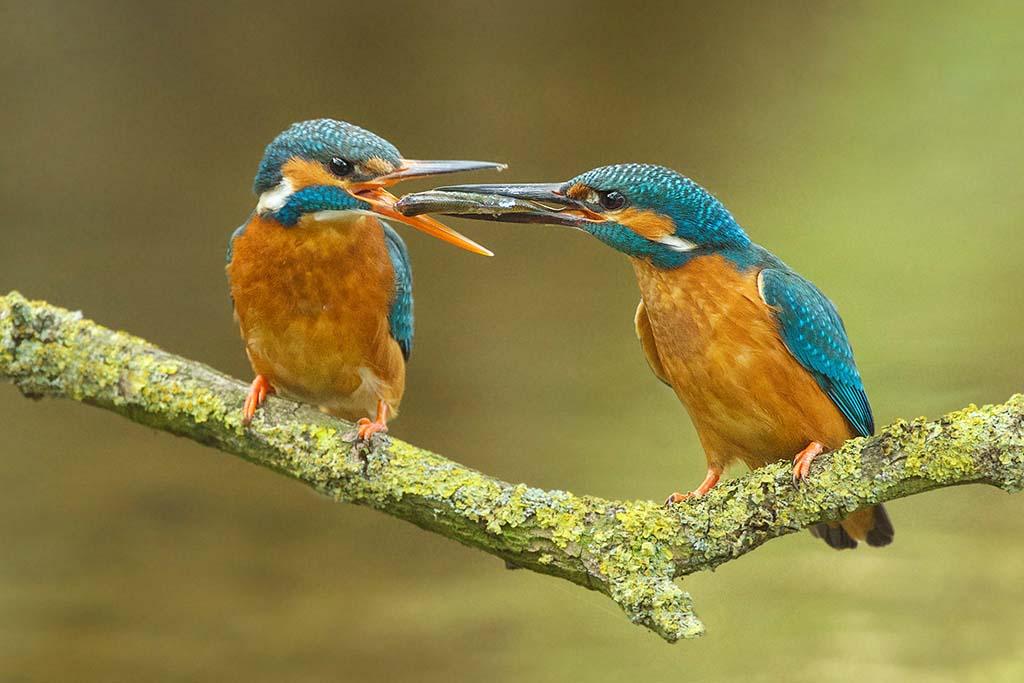 IJssvogel visoverdracht