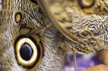 Tropische vlinders