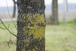 Gele aanslag op bomen: het zijn korstmossen die een teken zijn van stikstof in de lucht.  - Fotograaf: Ron Poot