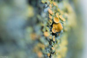 Enkele vruchtlichamen van dichtbij, op boomschors. - Fotograaf: Ron Poot