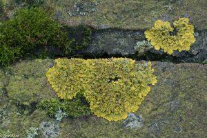 Bladmossen en korstmossen op tuinmuurtjes vormen een heel eigen leefgemeenschap. - Fotograaf: Ron Poot
