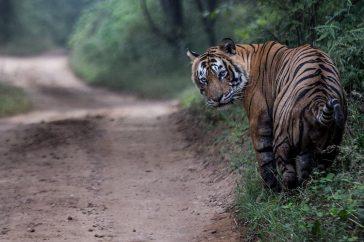 tigergenocide