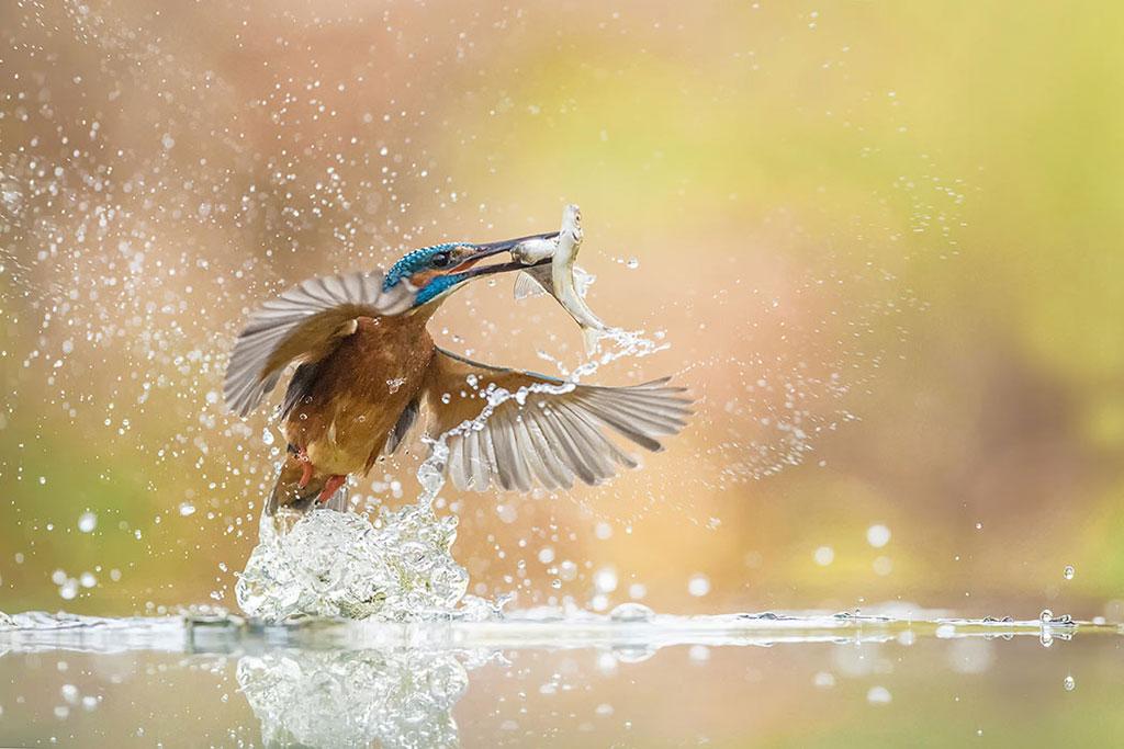 IJsvogel vangt twee visjes