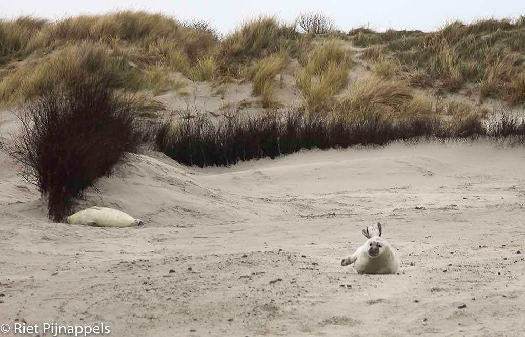 zeehondenpups