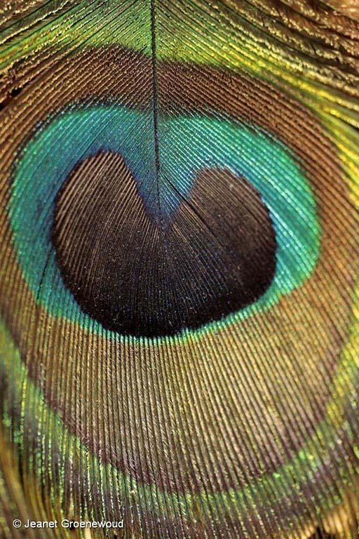 Het hart van het pauwenoog